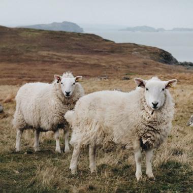 羊毛–经历万年的考验温暖你